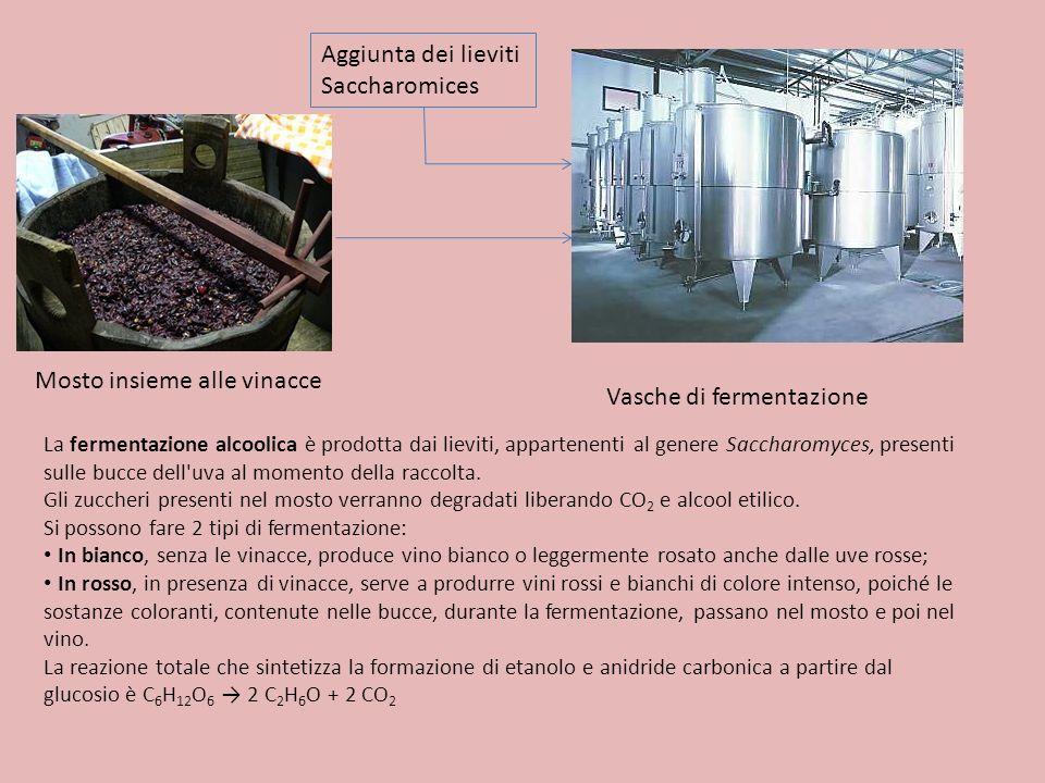 Mosto insieme alle vinacce Vasche di fermentazione La fermentazione alcoolica è prodotta dai lieviti, appartenenti al genere Saccharomyces, presenti s