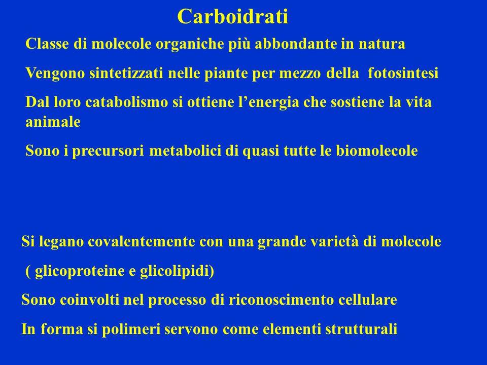 Carboidrati Classe di molecole organiche più abbondante in natura Vengono sintetizzati nelle piante per mezzo della fotosintesi Dal loro catabolismo s