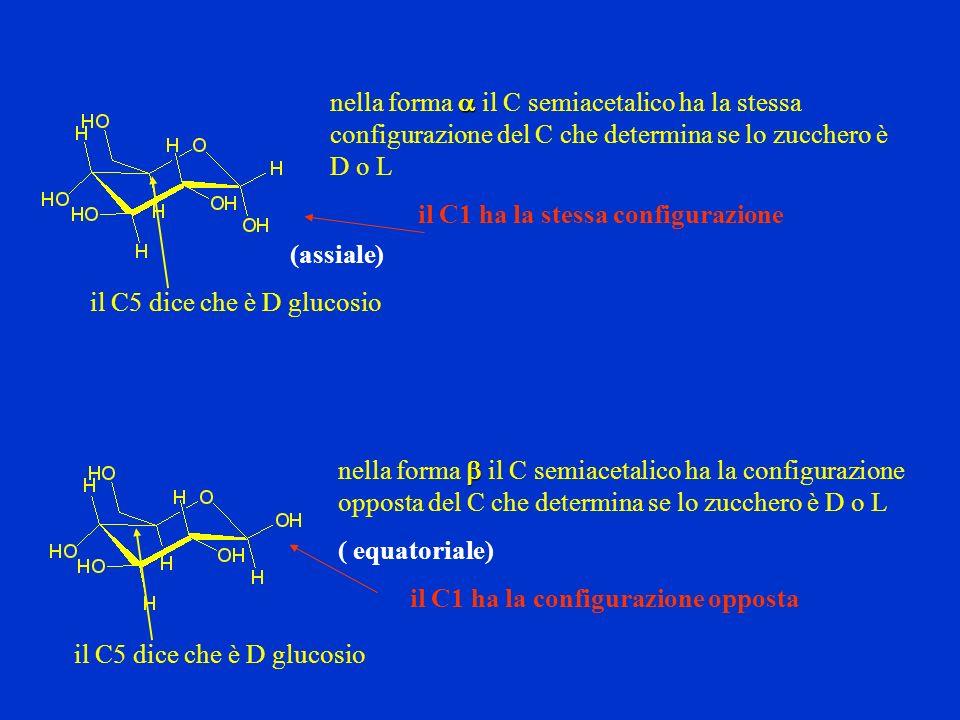 nella forma il C semiacetalico ha la stessa configurazione del C che determina se lo zucchero è D o L il C5 dice che è D glucosio nella forma il C sem