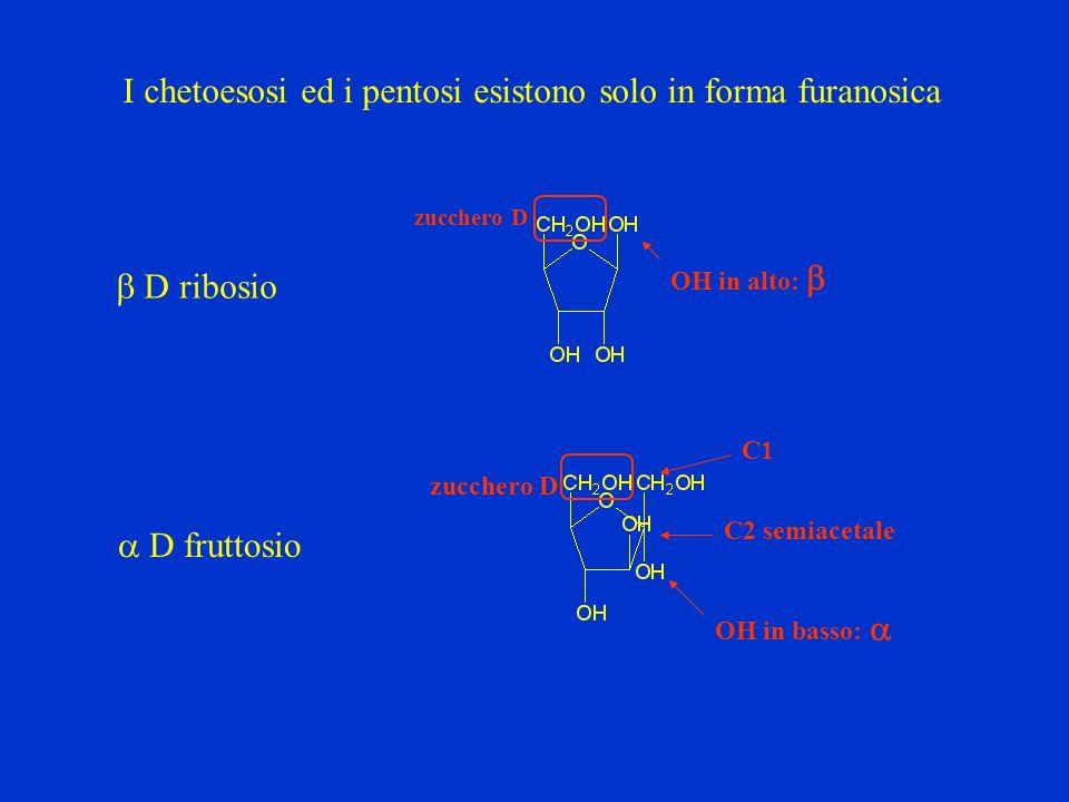 I chetoesosi ed i pentosi esistono solo in forma furanosica D ribosio D fruttosio zucchero D OH in alto: zucchero D OH in basso: C1 C2 semiacetale