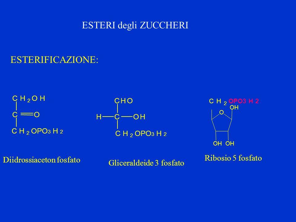 ESTERIFICAZIONE: CH 2 OH C CH 2 OPO 3 H 2 O CHO COHH CH 2 Diidrossiaceton fosfato Gliceraldeide 3 fosfato O OH OHOH CH 2 OPO3 H 2 Ribosio 5 fosfato ES