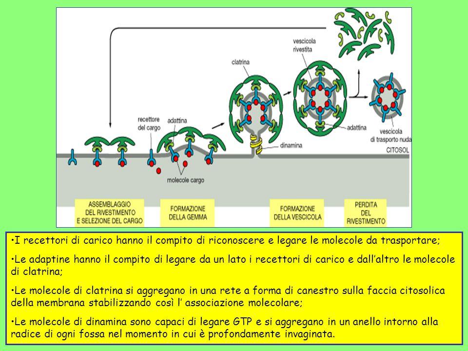 I recettori di carico hanno il compito di riconoscere e legare le molecole da trasportare; Le adaptine hanno il compito di legare da un lato i recetto