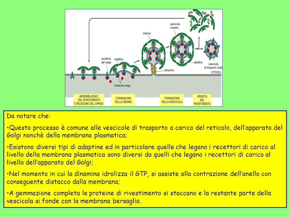 Da notare che: Questo processo è comune alle vescicole di trasporto a carico del reticolo, dellapparato del Golgi nonchè della membrana plasmatica; Es