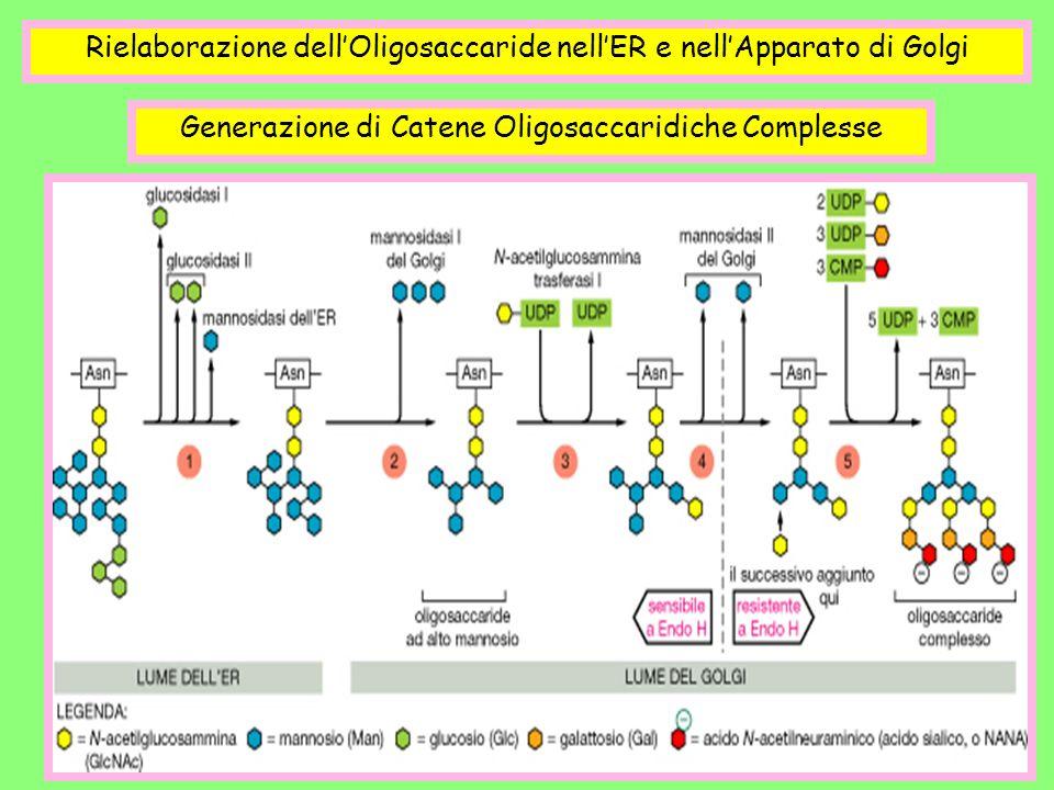 Rielaborazione dellOligosaccaride nellER e nellApparato di Golgi Generazione di Catene Oligosaccaridiche Complesse
