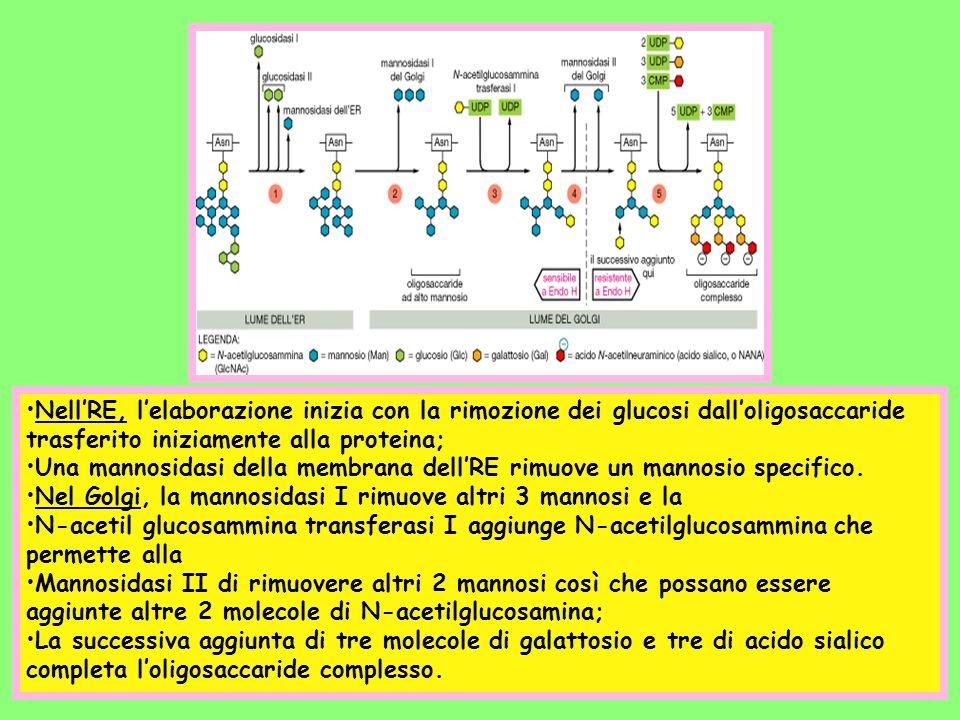 NellRE, lelaborazione inizia con la rimozione dei glucosi dalloligosaccaride trasferito iniziamente alla proteina; Una mannosidasi della membrana dell