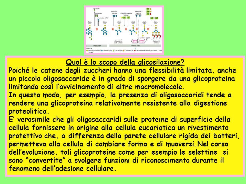 Qual è lo scopo della glicosilazione? Poiché le catene degli zuccheri hanno una flessibilità limitata, anche un piccolo oligosaccaride è in grado di s