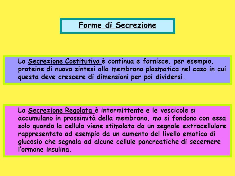 Forme di Secrezione La Secrezione Costitutiva è continua e fornisce, per esempio, proteine di nuova sintesi alla membrana plasmatica nel caso in cui q