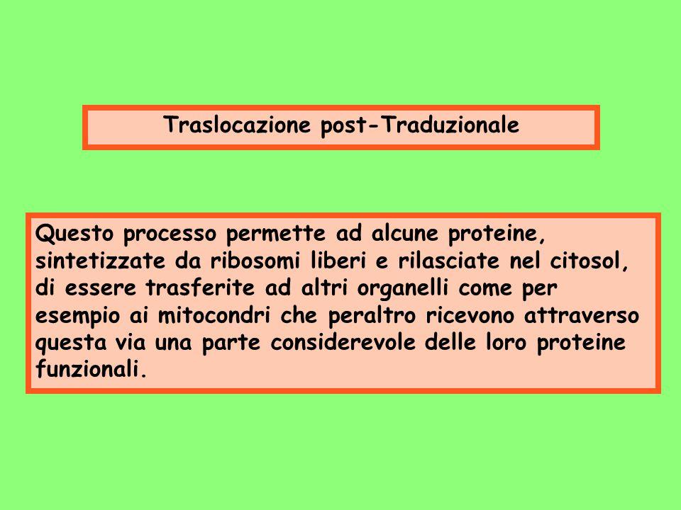 Traslocazione post-Traduzionale Questo processo permette ad alcune proteine, sintetizzate da ribosomi liberi e rilasciate nel citosol, di essere trasf