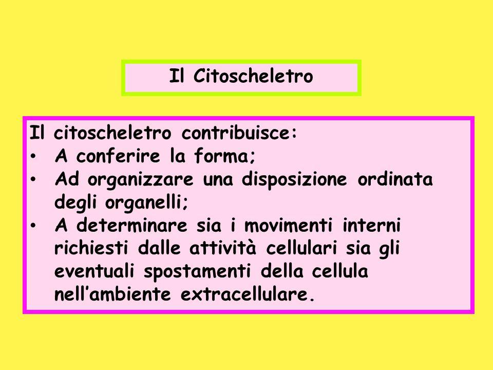 Il citoscheletro contribuisce: A conferire la forma; Ad organizzare una disposizione ordinata degli organelli; A determinare sia i movimenti interni r