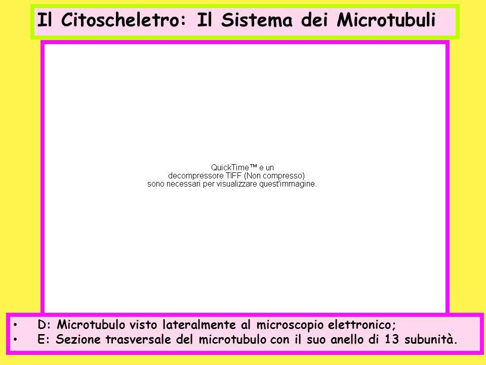 Il Citoscheletro: Il Sistema dei Microtubuli D: Microtubulo visto lateralmente al microscopio elettronico; E: Sezione trasversale del microtubulo con