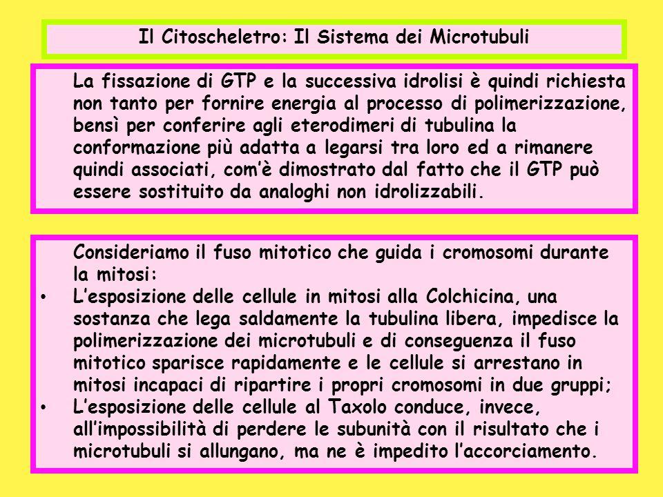 Il Citoscheletro: Il Sistema dei Microtubuli La fissazione di GTP e la successiva idrolisi è quindi richiesta non tanto per fornire energia al process