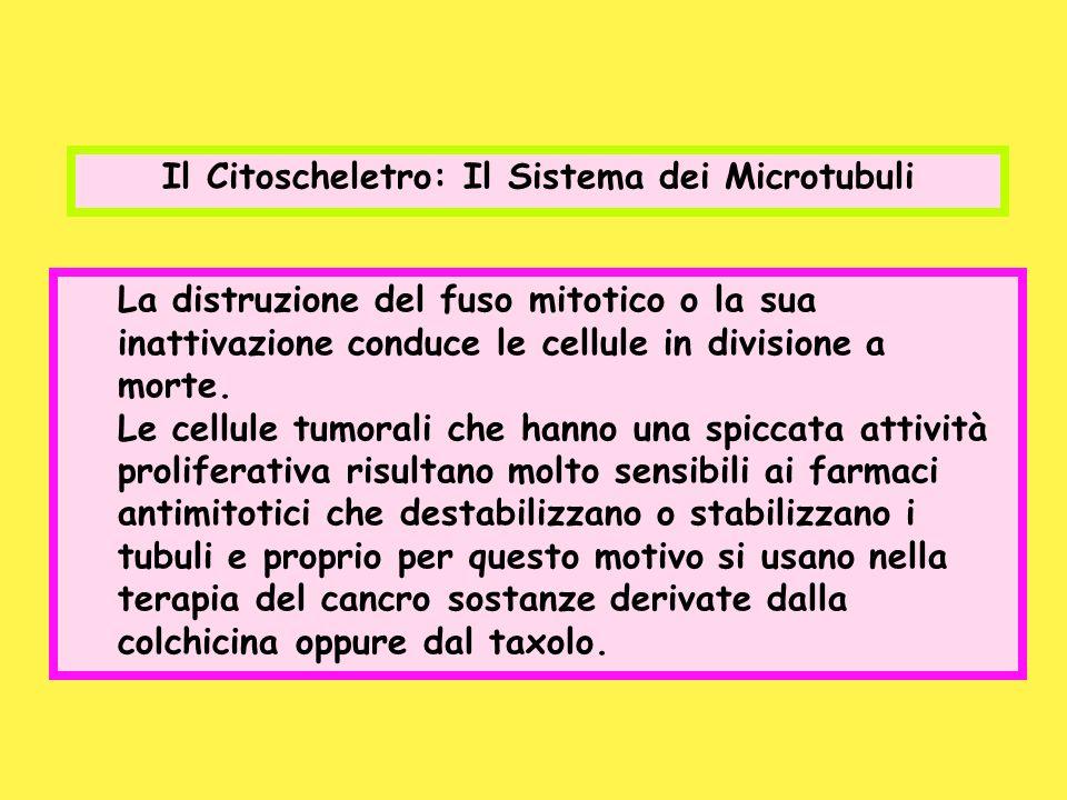 Il Citoscheletro: Il Sistema dei Microtubuli La distruzione del fuso mitotico o la sua inattivazione conduce le cellule in divisione a morte. Le cellu