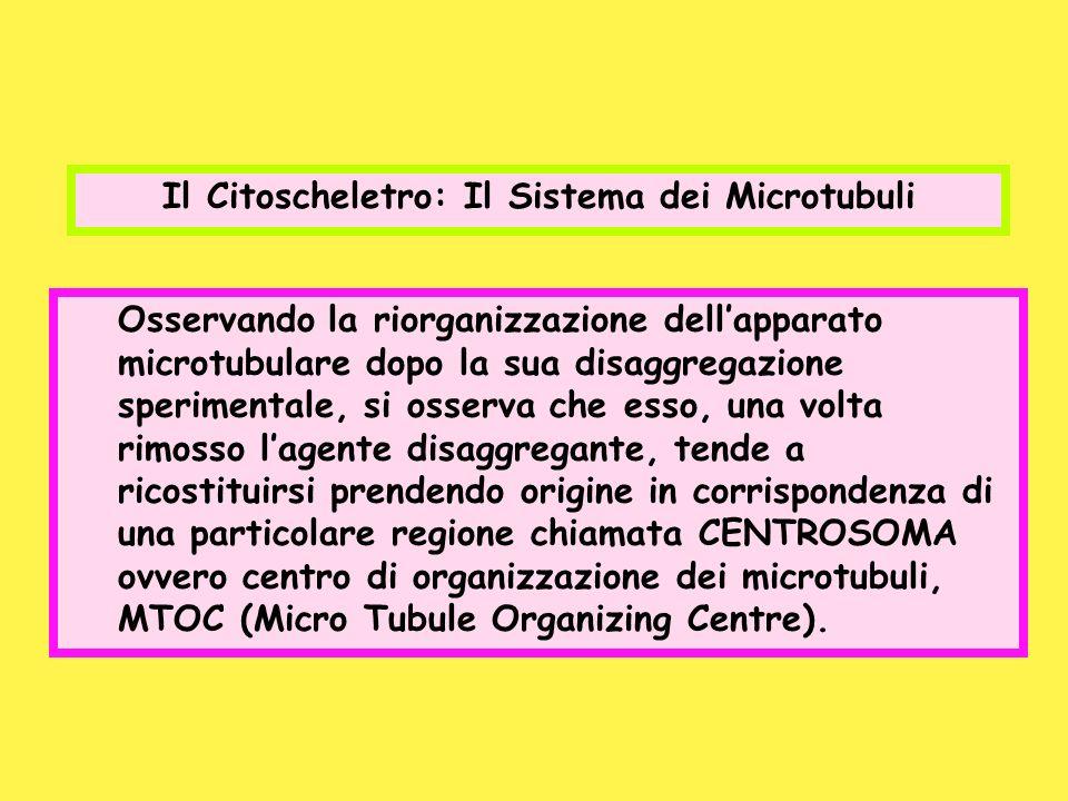 Il Citoscheletro: Il Sistema dei Microtubuli Osservando la riorganizzazione dellapparato microtubulare dopo la sua disaggregazione sperimentale, si os