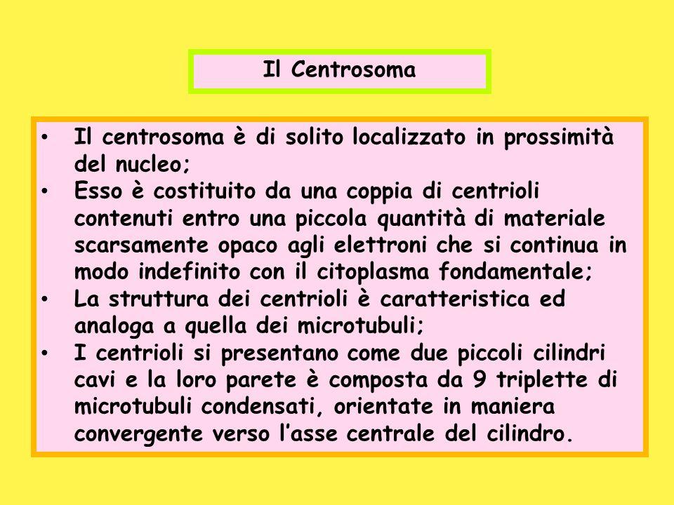 Il Centrosoma Il centrosoma è di solito localizzato in prossimità del nucleo; Esso è costituito da una coppia di centrioli contenuti entro una piccola