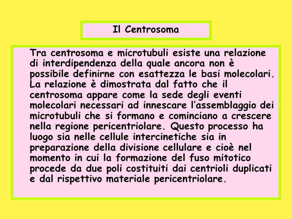 Il Centrosoma Tra centrosoma e microtubuli esiste una relazione di interdipendenza della quale ancora non è possibile definirne con esattezza le basi