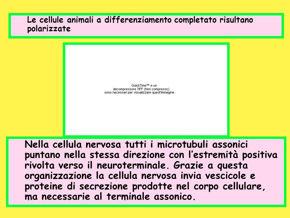 Le cellule animali a differenziamento completato risultano polarizzate Nella cellula nervosa tutti i microtubuli assonici puntano nella stessa direzio