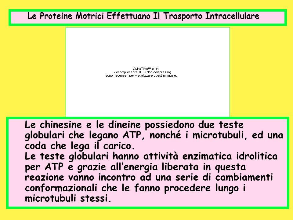 Le Proteine Motrici Effettuano Il Trasporto Intracellulare Le chinesine e le dineine possiedono due teste globulari che legano ATP, nonché i microtubu