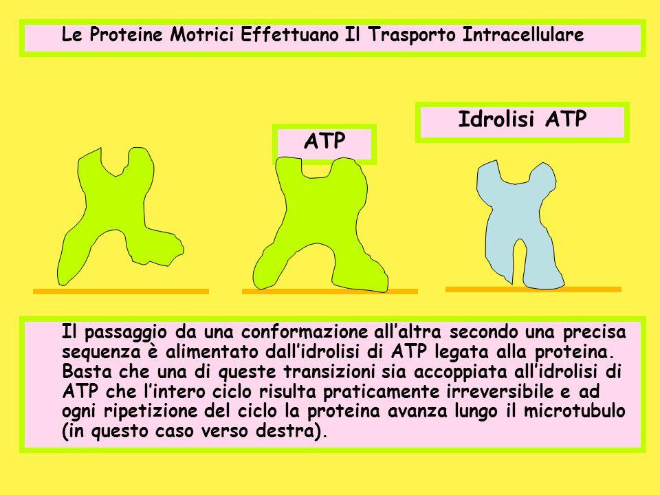 Le Proteine Motrici Effettuano Il Trasporto Intracellulare ATP Idrolisi ATP Il passaggio da una conformazione allaltra secondo una precisa sequenza è
