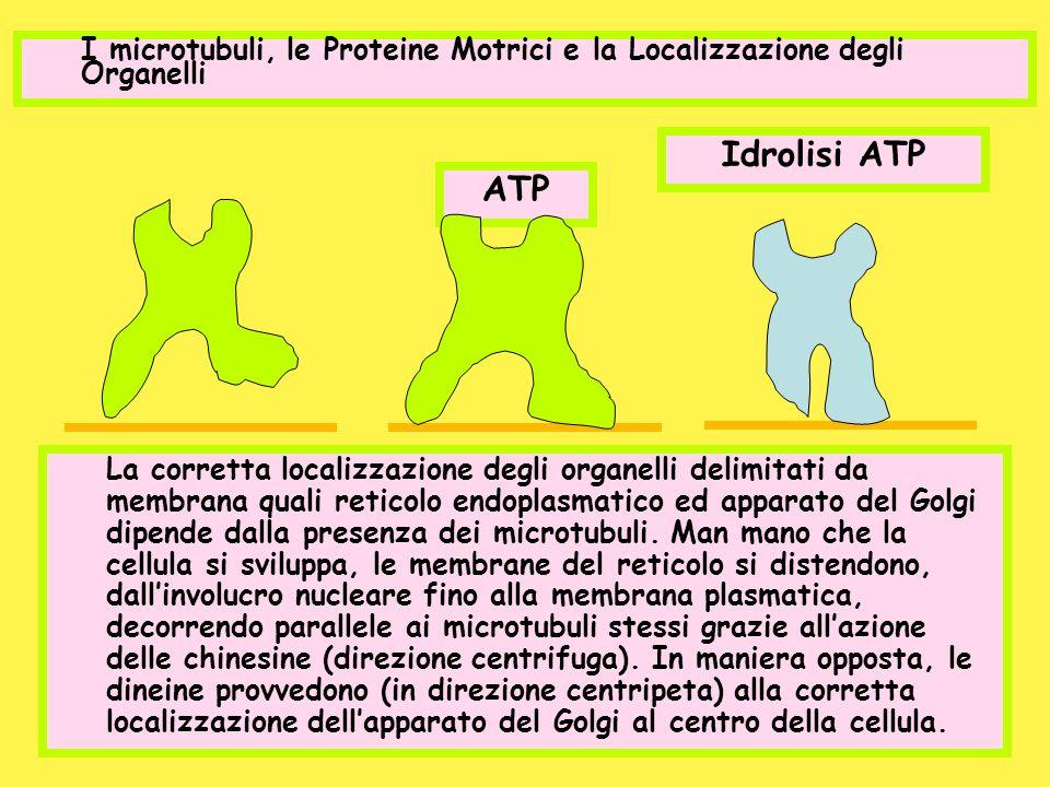 I microtubuli, le Proteine Motrici e la Localizzazione degli Organelli ATP Idrolisi ATP La corretta localizzazione degli organelli delimitati da membr