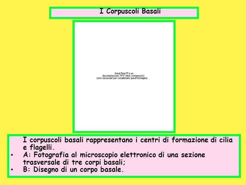 I Corpuscoli Basali I corpuscoli basali rappresentano i centri di formazione di cilia e flagelli. A: Fotografia al microscopio elettronico di una sezi