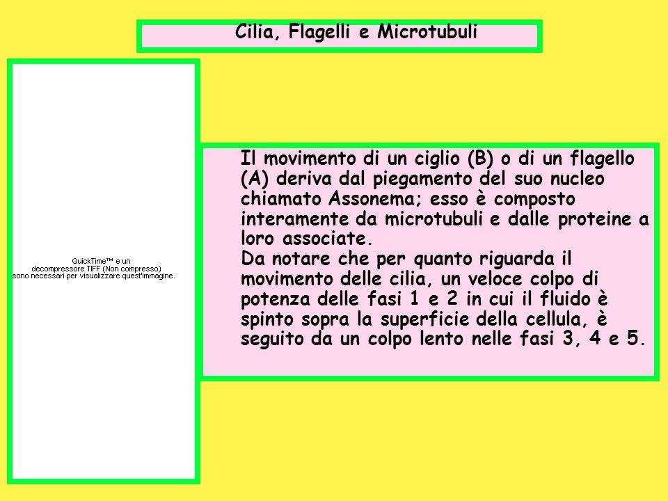 Cilia, Flagelli e Microtubuli Il movimento di un ciglio (B) o di un flagello (A) deriva dal piegamento del suo nucleo chiamato Assonema; esso è compos