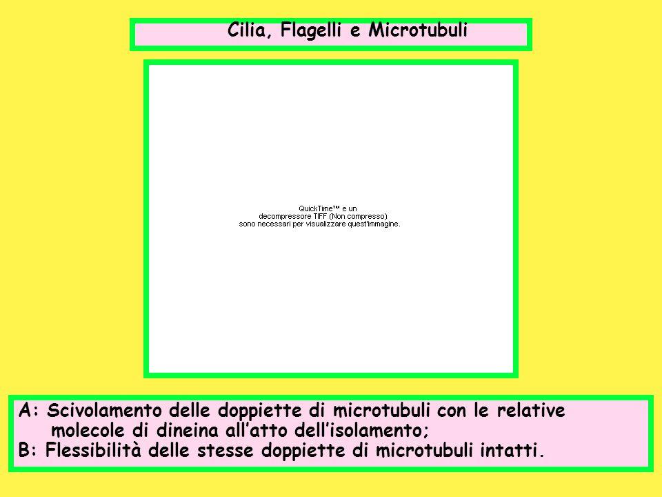 Cilia, Flagelli e Microtubuli A: Scivolamento delle doppiette di microtubuli con le relative molecole di dineina allatto dellisolamento; B: Flessibili