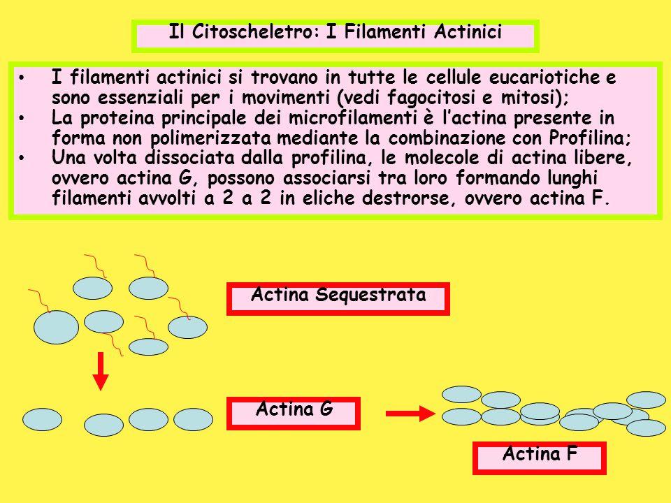 I filamenti actinici si trovano in tutte le cellule eucariotiche e sono essenziali per i movimenti (vedi fagocitosi e mitosi); La proteina principale