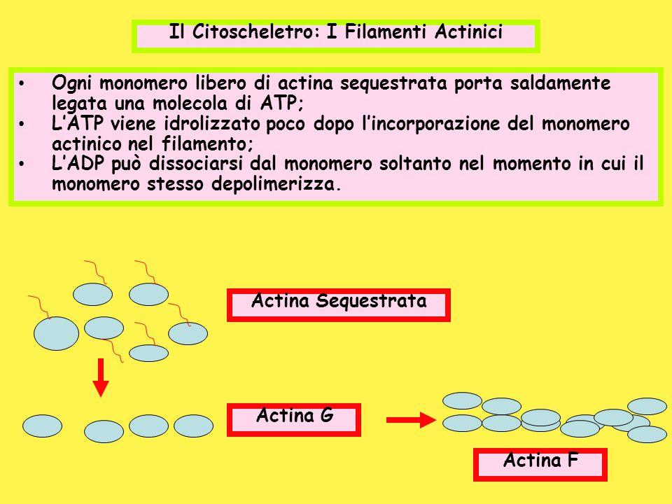 Il Citoscheletro: I Filamenti Actinici Ogni monomero libero di actina sequestrata porta saldamente legata una molecola di ATP; LATP viene idrolizzato