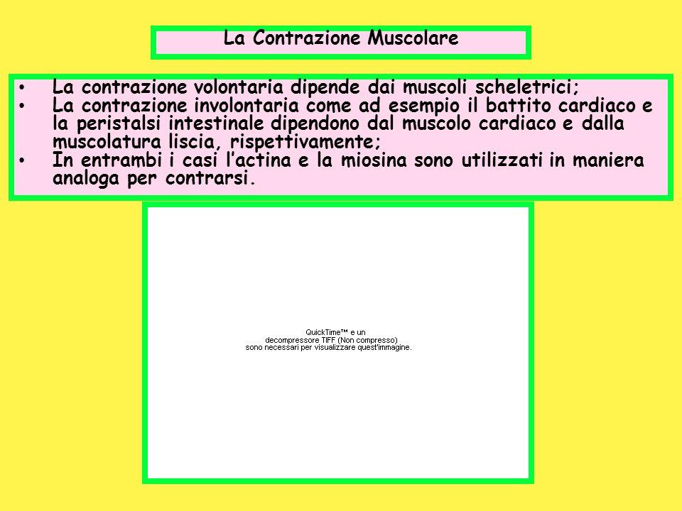 La Contrazione Muscolare La contrazione volontaria dipende dai muscoli scheletrici; La contrazione involontaria come ad esempio il battito cardiaco e
