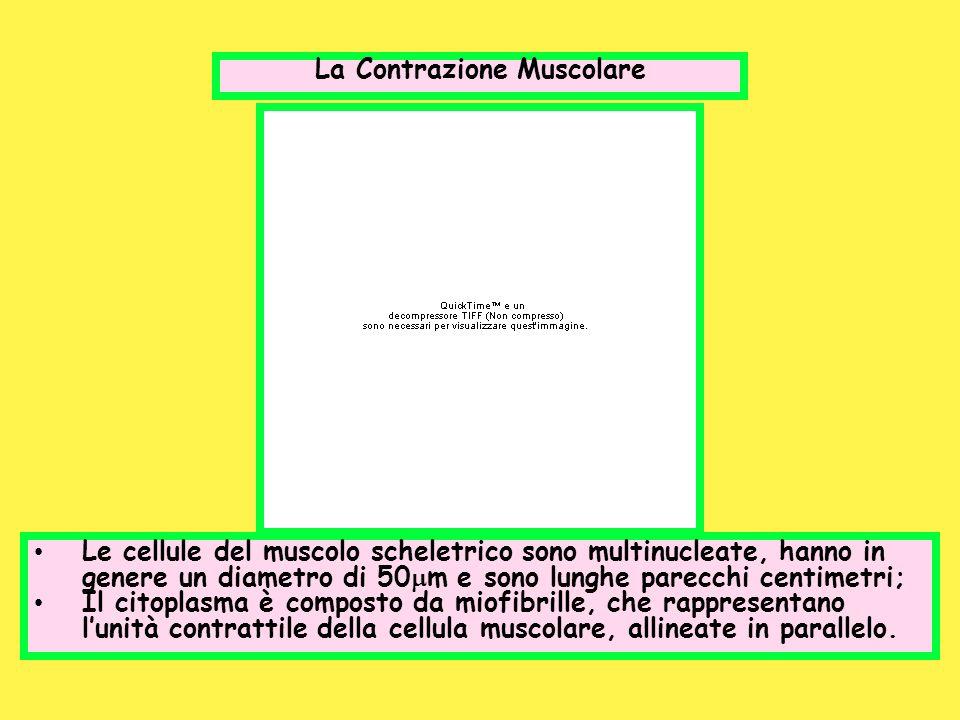 La Contrazione Muscolare Le cellule del muscolo scheletrico sono multinucleate, hanno in genere un diametro di 50 m e sono lunghe parecchi centimetri;