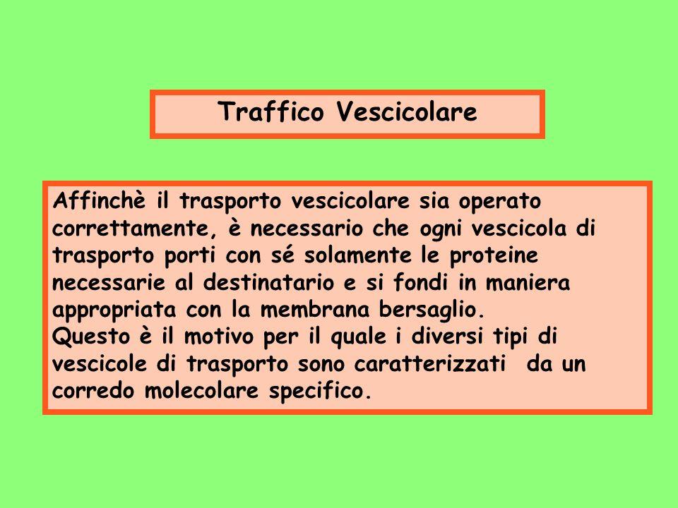Traffico Vescicolare Affinchè il trasporto vescicolare sia operato correttamente, è necessario che ogni vescicola di trasporto porti con sé solamente