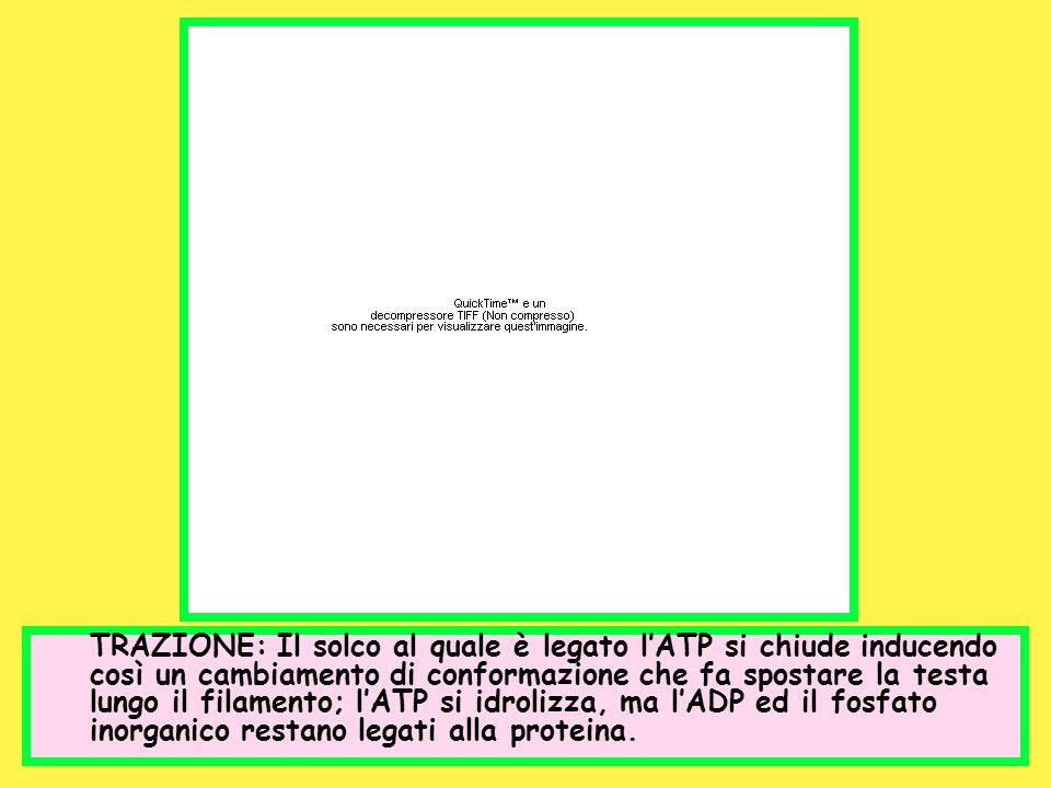 TRAZIONE: Il solco al quale è legato lATP si chiude inducendo così un cambiamento di conformazione che fa spostare la testa lungo il filamento; lATP s