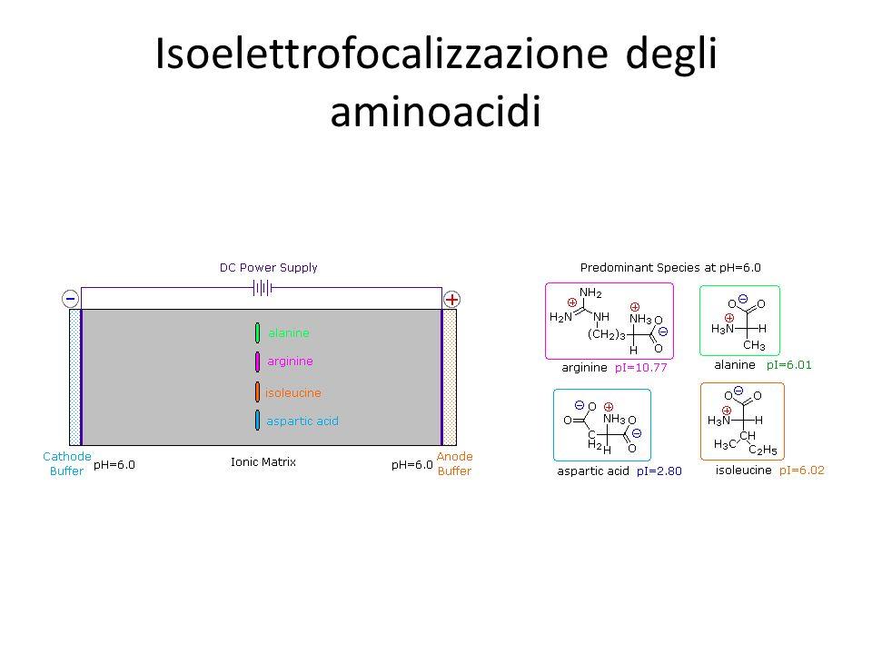 Isoelettrofocalizzazione degli aminoacidi