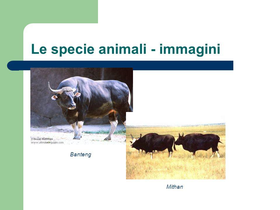 Le specie animali - immagini Banteng Mithan