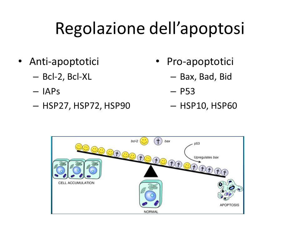 Regolazione dellapoptosi Anti-apoptotici – Bcl-2, Bcl-XL – IAPs – HSP27, HSP72, HSP90 Pro-apoptotici – Bax, Bad, Bid – P53 – HSP10, HSP60