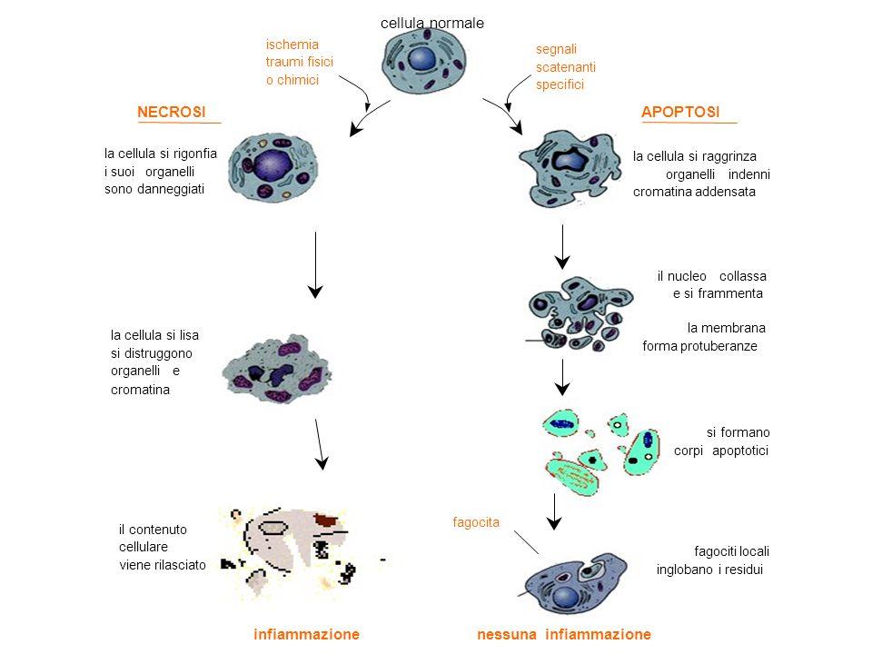 la cellula si rigonfia i suoiorganelli sono danneggiati la cellula si lisa si distruggono organellie cromatina il contenuto cellulare viene rilasciato