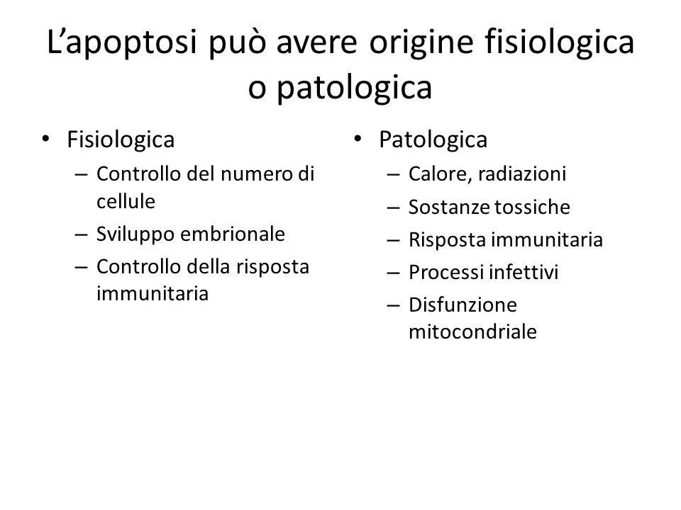 Lapoptosi può avere origine fisiologica o patologica Fisiologica – Controllo del numero di cellule – Sviluppo embrionale – Controllo della risposta im