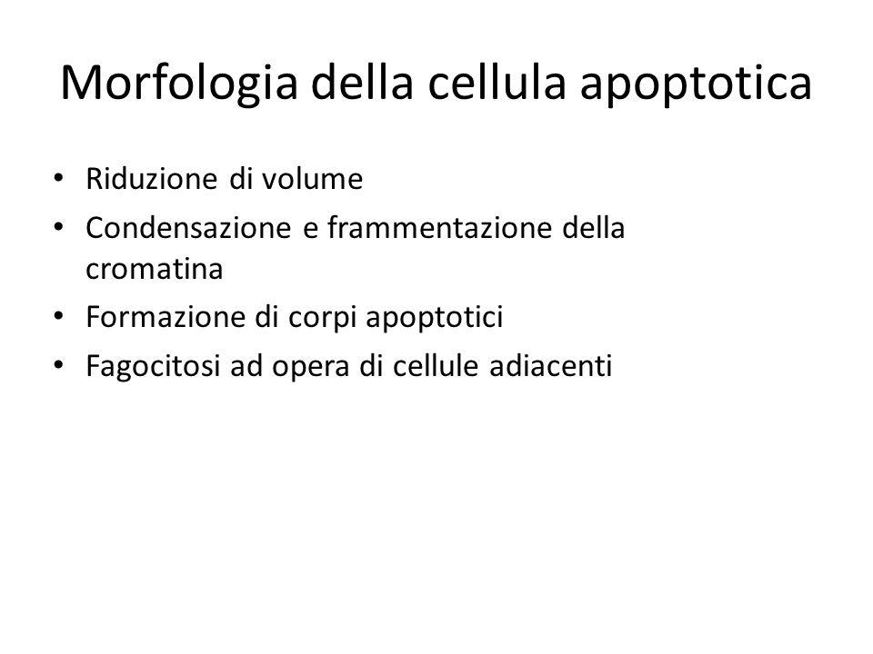 Morfologia della cellula apoptotica Riduzione di volume Condensazione e frammentazione della cromatina Formazione di corpi apoptotici Fagocitosi ad op