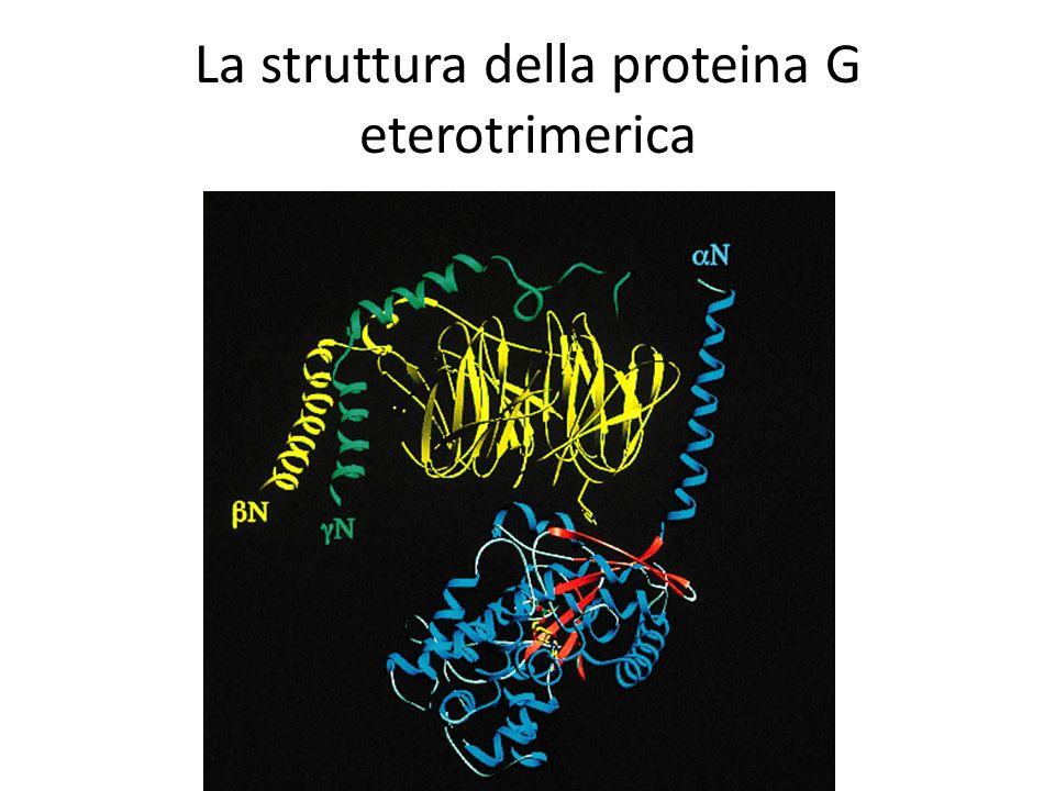 La struttura della proteina G eterotrimerica