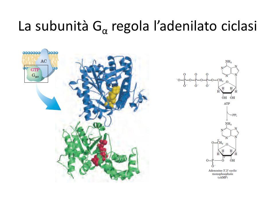 La subunità G α regola ladenilato ciclasi