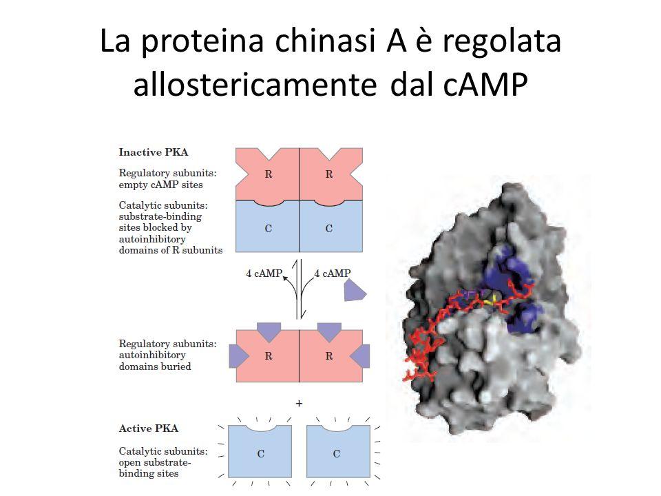 La proteina chinasi A è regolata allostericamente dal cAMP