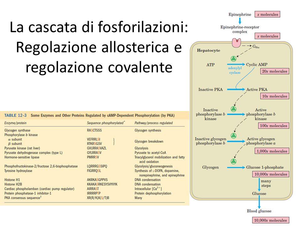 La cascata di fosforilazioni: Regolazione allosterica e regolazione covalente