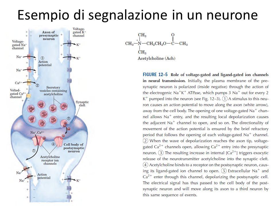 Esempio di segnalazione in un neurone