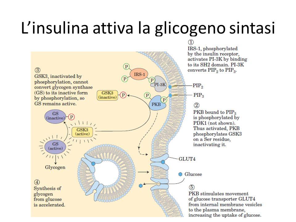Linsulina attiva la glicogeno sintasi