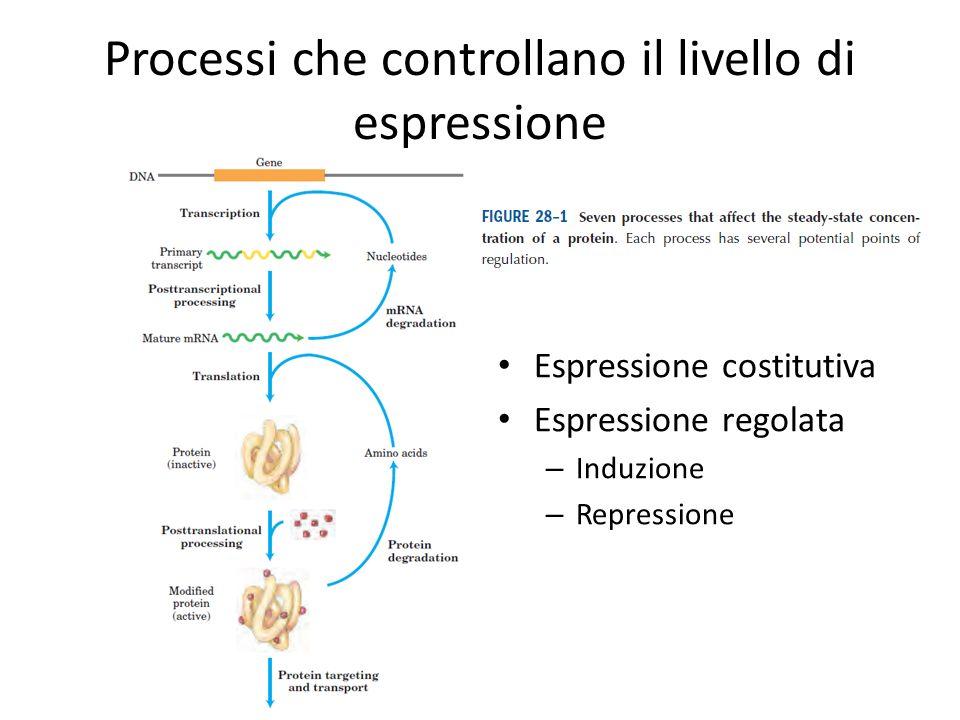 Processi che controllano il livello di espressione Espressione costitutiva Espressione regolata – Induzione – Repressione