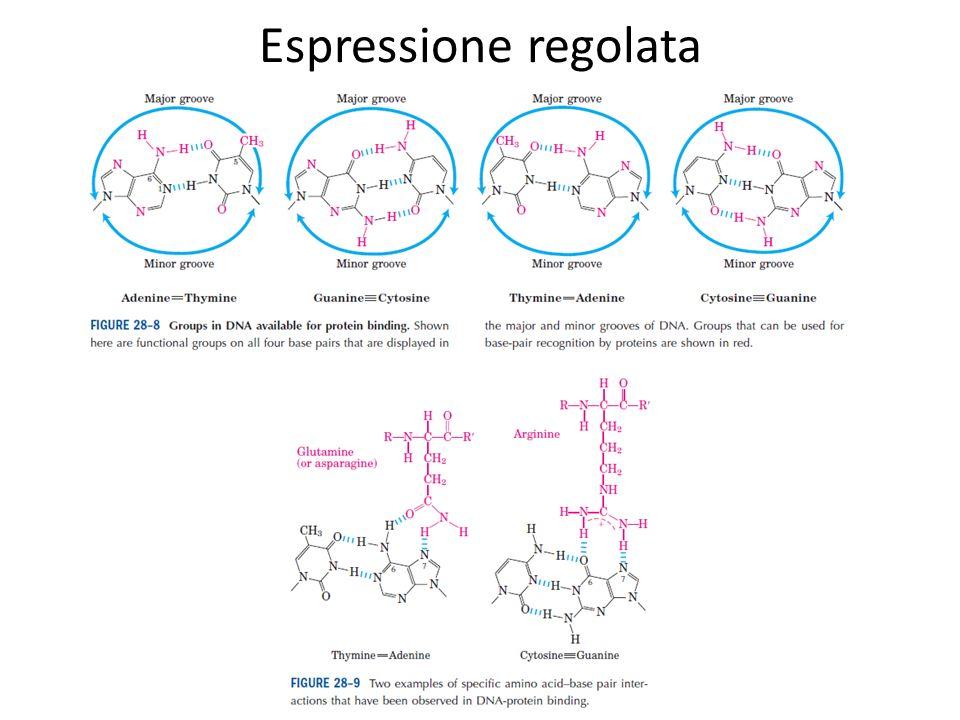 Espressione regolata Helix-turn-helix