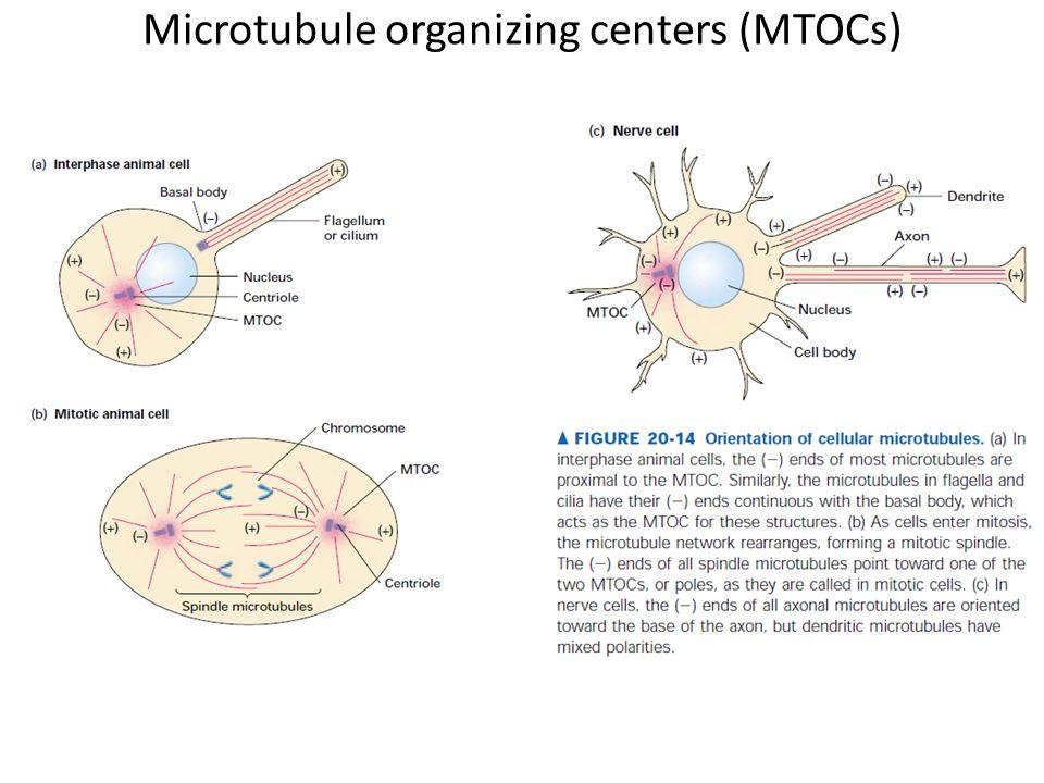 Microtubule organizing centers (MTOCs)