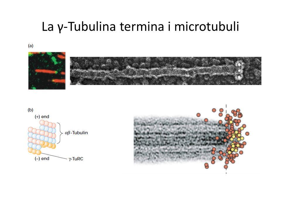 La γ-Tubulina termina i microtubuli