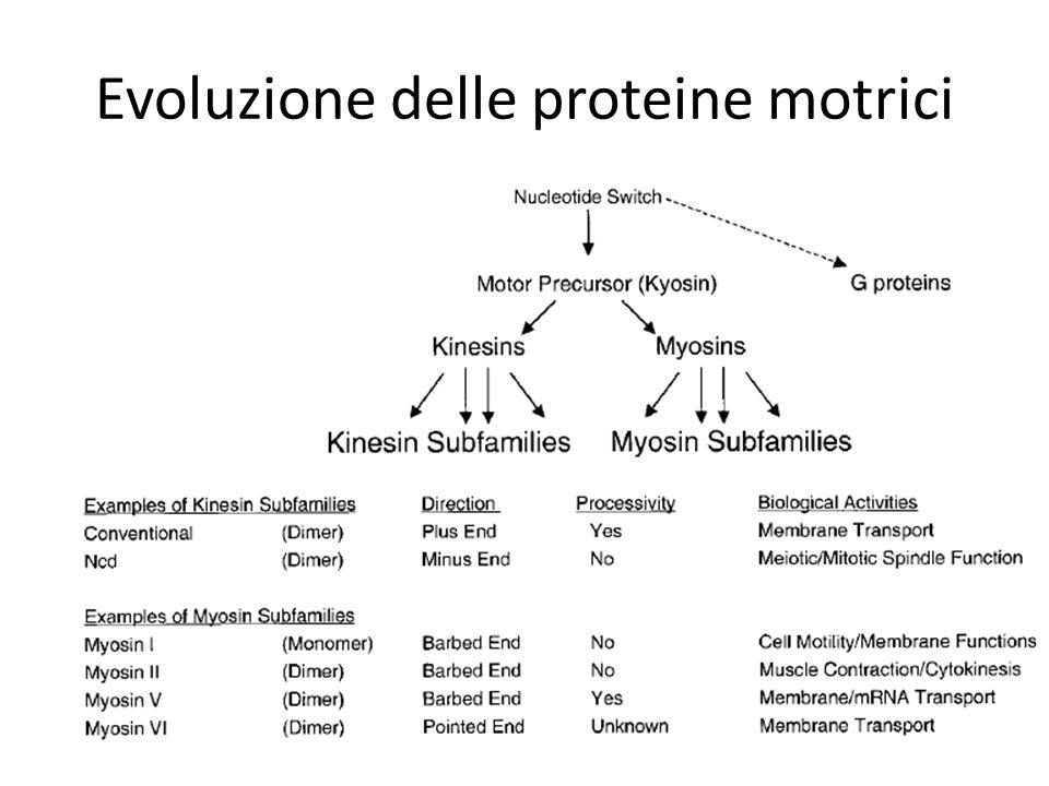 Evoluzione delle proteine motrici