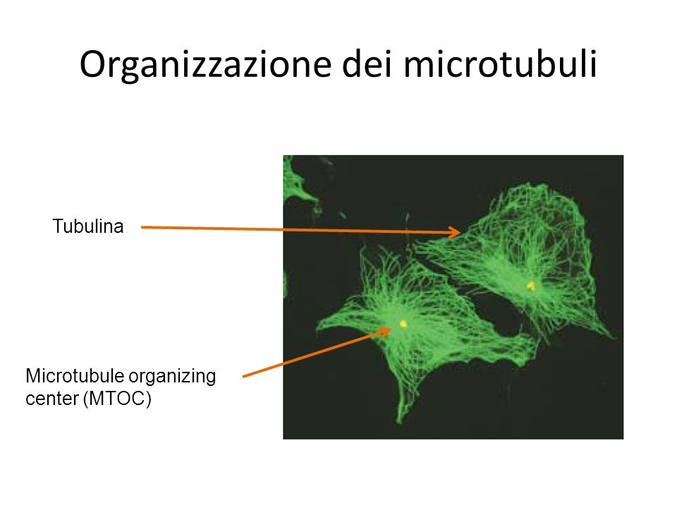 Tubulina Microtubule organizing center (MTOC)